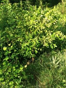 Satsuma Tree