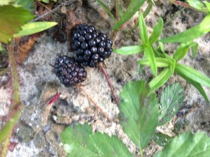 Blackberries at the River